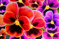 Multicolor pansy flowers or pansies (viola)