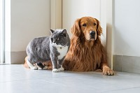Golden Retriever dogs and British short-haired cat