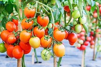 Fresh ripe tomatoes growing on a branch in garden