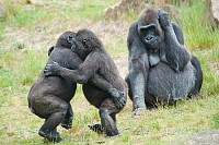 Two young gorillas dancing while the mother is wat