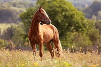 Welsh pony running and standing in high grass