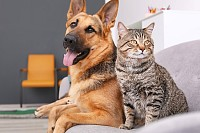 Adorable Cat and Dog resting together on sofa