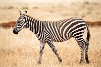 Zebra standing or walking throught the grassland