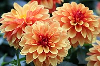 Dahlia flower are colorful and orange
