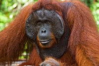 Portrait of a male orangutan