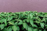 Green leaves and wall