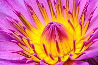 Water lily, colorful pollen of pink flower