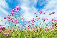 Cosmos flower against blue sky, Chiang Rai, Thaila