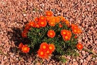 Flowering bright orange ice plant nature backgroun