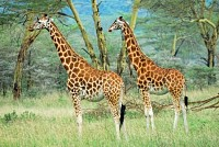 Masai race giraffes in Lake Nakuru national park
