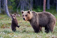 Brown bear cub standing and her mom
