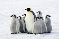 Emperor penguin with children, the Antarctic