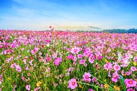 Cosmos flower against blue sky, Chiang Rai Thailad