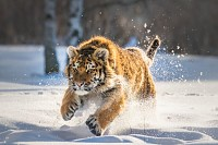 Siberian Tiger running in snow