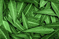 Nature green Eucalyptus leaves with raindrops
