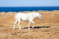 White beautiful horse on pasture by the seaside