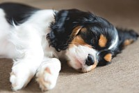 Cute puppy of cavalier spaniel sleeping on a sofa