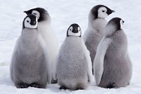 Five Emperor Penguin chicks