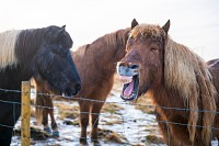 Icelandic horses in the snow