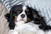 Cute cavalier spaniel lying on the bed