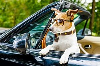 Jack russell dog in a Car