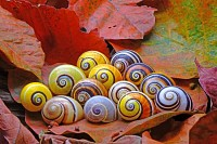 Cuban snails one of most colorful and land snails