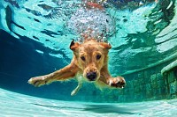 Golden labrador retriever puppy in swimming pool