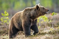 Wild Brown bear in the summer forest