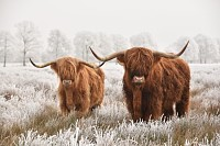 Hairy Scottish highlanders, national park in Drent