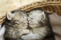 Cute tabby kittens hugging in a basket