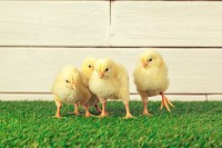 Little Chicks on the grass