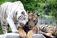 Tigers 2 show snuggle in Love