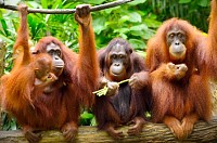 Close up of orangutans