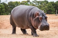 The common Hippopotamus, semiaquatic mammal