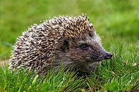 Native European adult little Hedgehog in green gra
