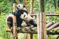 Two cute happy young giant Pandas playing together