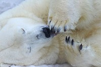 Funny Sleepy Polar bear close