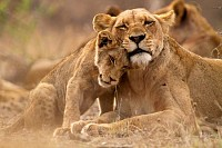 Lioness and cub in the Kruger NP, South Africa