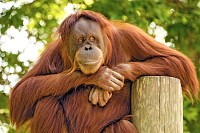 The observer. An Orangutan watching the world