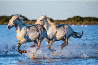 White camargue horses running along the water