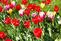 Many Red, pink, yellow tulips in green garden fiel