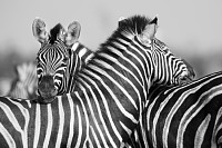 Zebra herd in a black and white photo with heads t