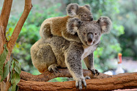 Mother koala with baby on her back, on eucalyptus