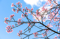 Cherry blossom against blue sky and white clouds