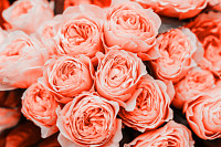 Beautiful living coral roses flowers bouquet close