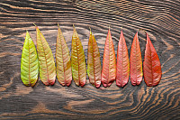 Range of colorful autumn leaves on wooden backgrou