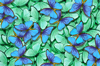 Green and blue butterflies morpho texture backgrou