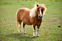 Miniature Pony in Field