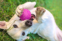 White dog playing with ball in the grass