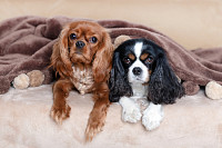 Two cute dogs under the soft blanket
